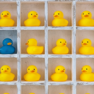 Rows of yellow ducks with one blue duck.